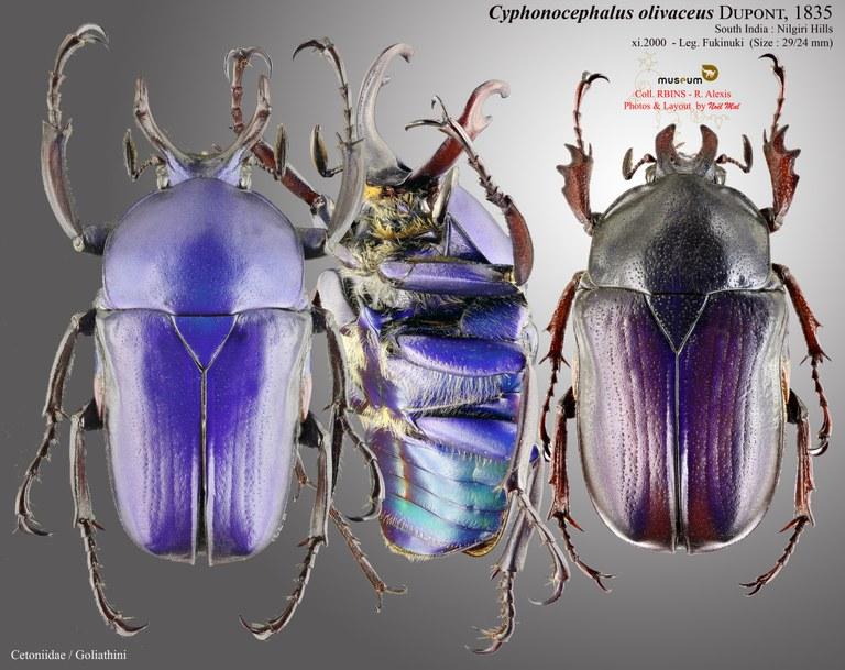 Cyphonocephalus olivaceus.jpg