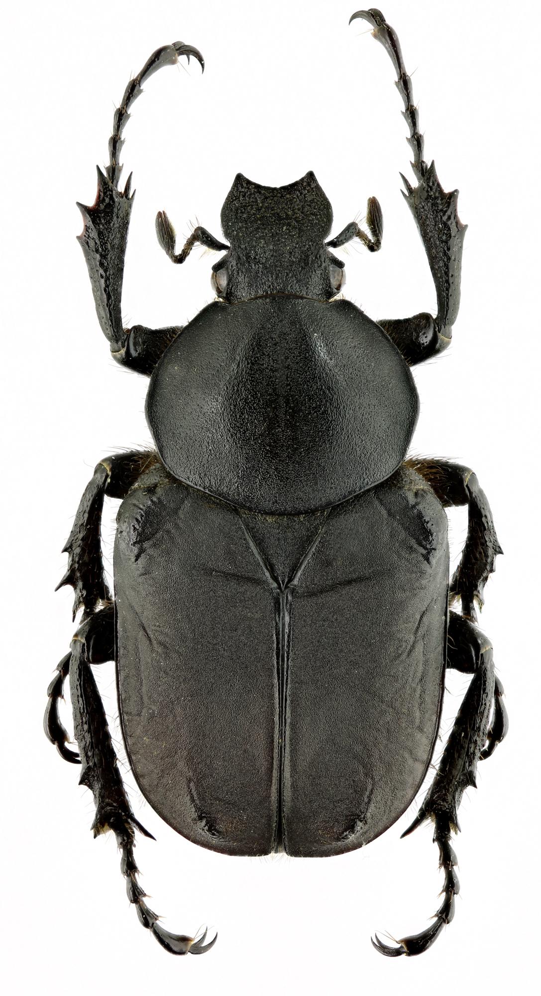 Dicronocephalus adamsi adamsi 14774zs86.jpg