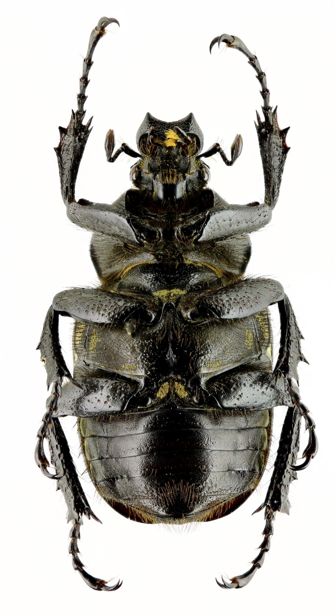 Dicronocephalus adamsi adamsi 14786zs92.jpg