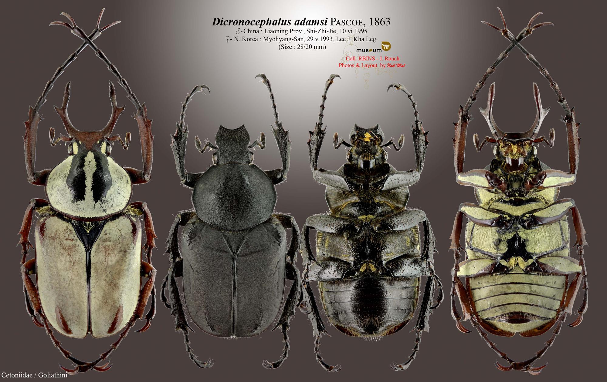 Dicronocephalus adamsi adamsi.jpg