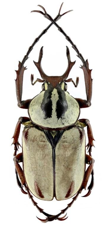 Dicronocephalus adamsi adamsi 14765zs73.jpg