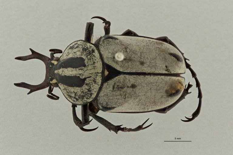 Dicranocephalus adamsi ssp. drumonti ht D ZS PMax Scaled.jpeg