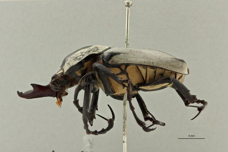 Dicranocephalus adamsi ssp.drumonti ht L ZS PMax Scaled.jpeg