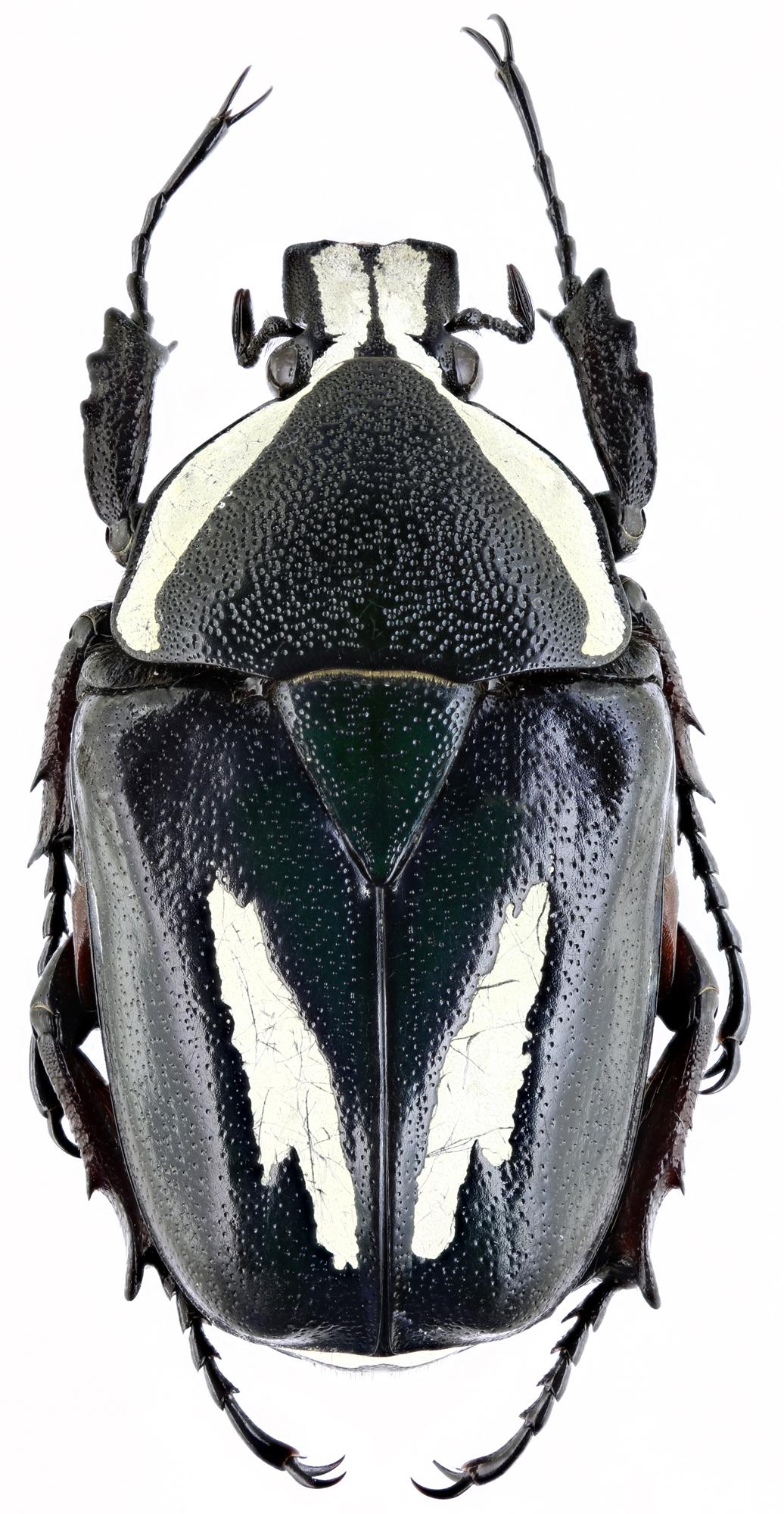 Dicronorhina derbyana carnifex 15830zs40.jpg