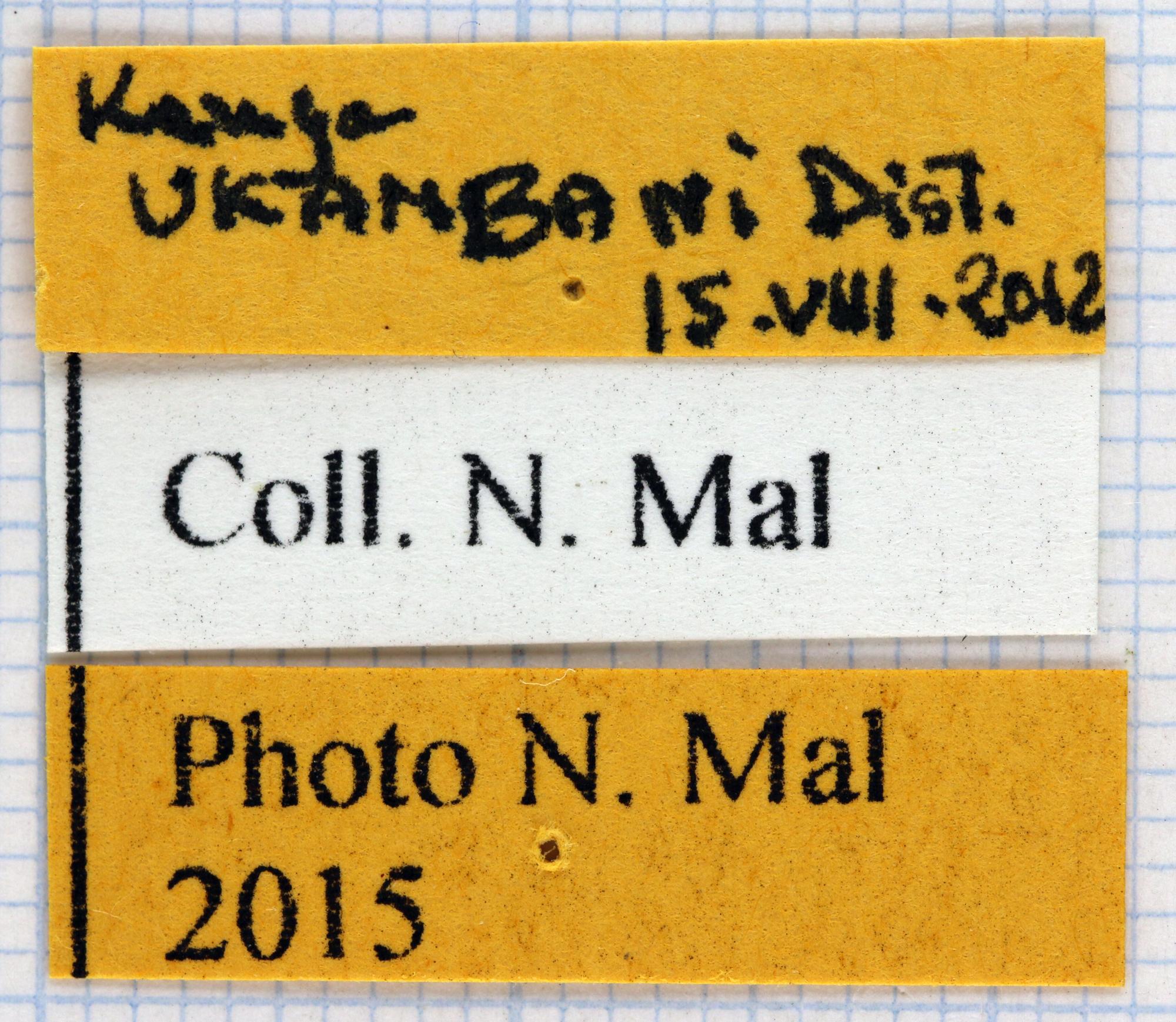 Dicronorhina derbyana carnifex 66087.jpg