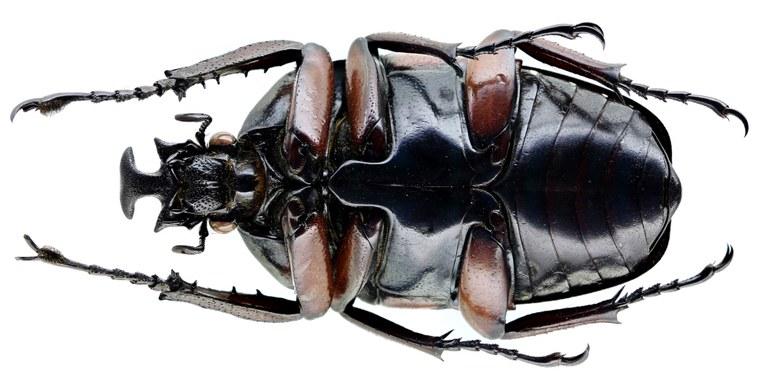 Dicronorhina derbyana carnifex 15851zs57.jpg