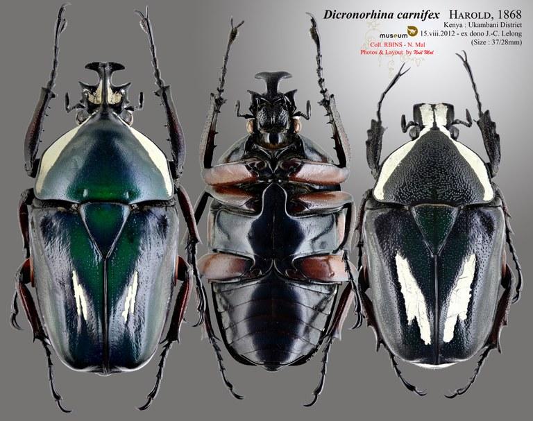 Dicronorhina derbyana carnifex.jpg