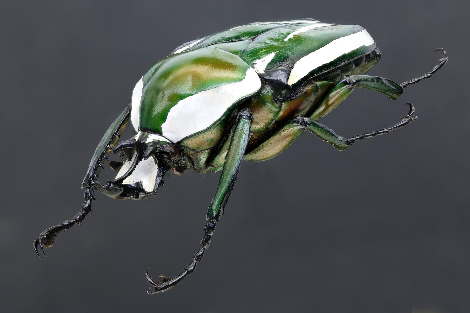 Dicronorhina derbyana layardi 66154zs72.jpg