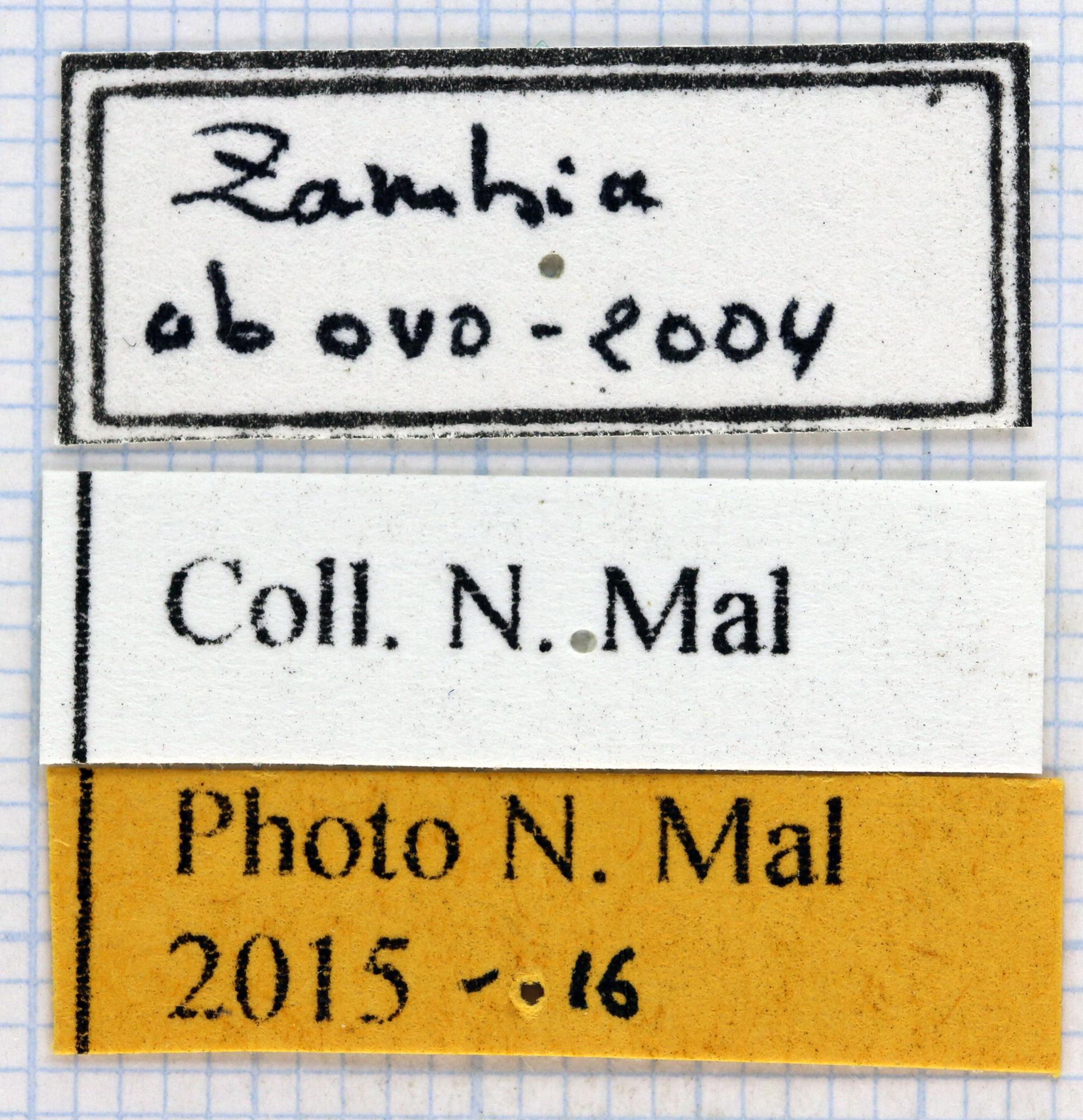Dicronorhina derbyana layardi label.jpg