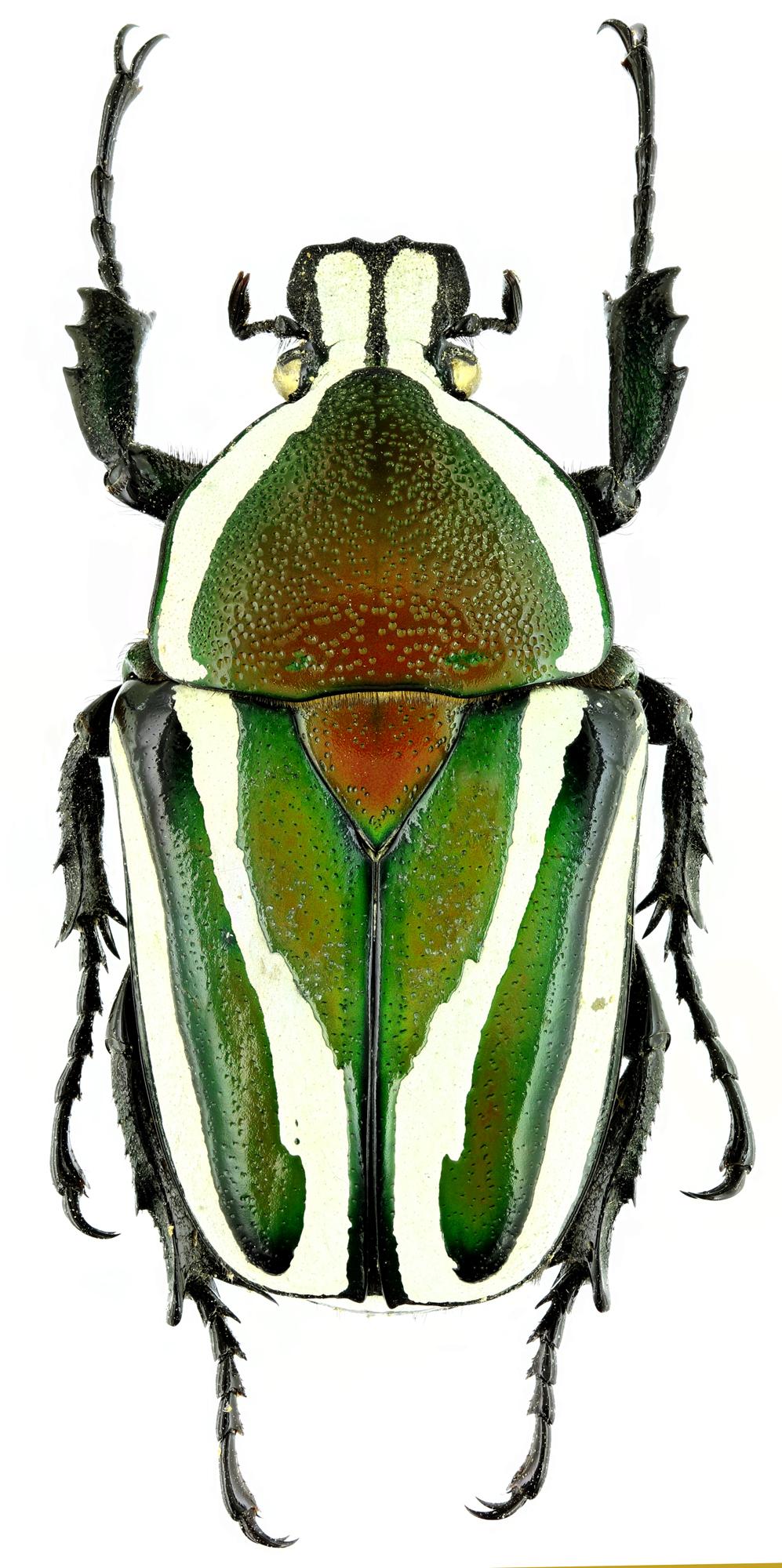 Dicronorhina derbyana layardi 17133zs44.jpg
