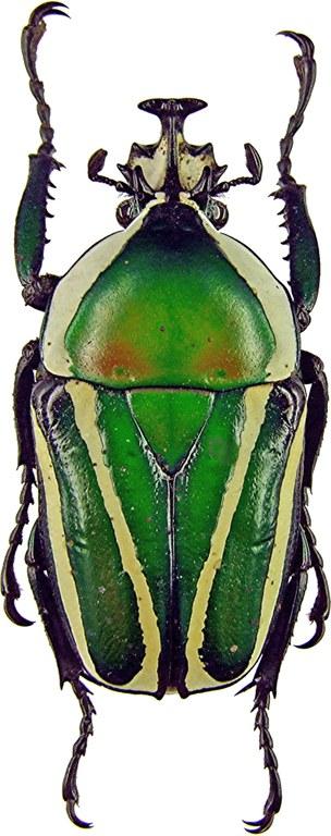 Dicronorhina derbyana layardi 960.jpg