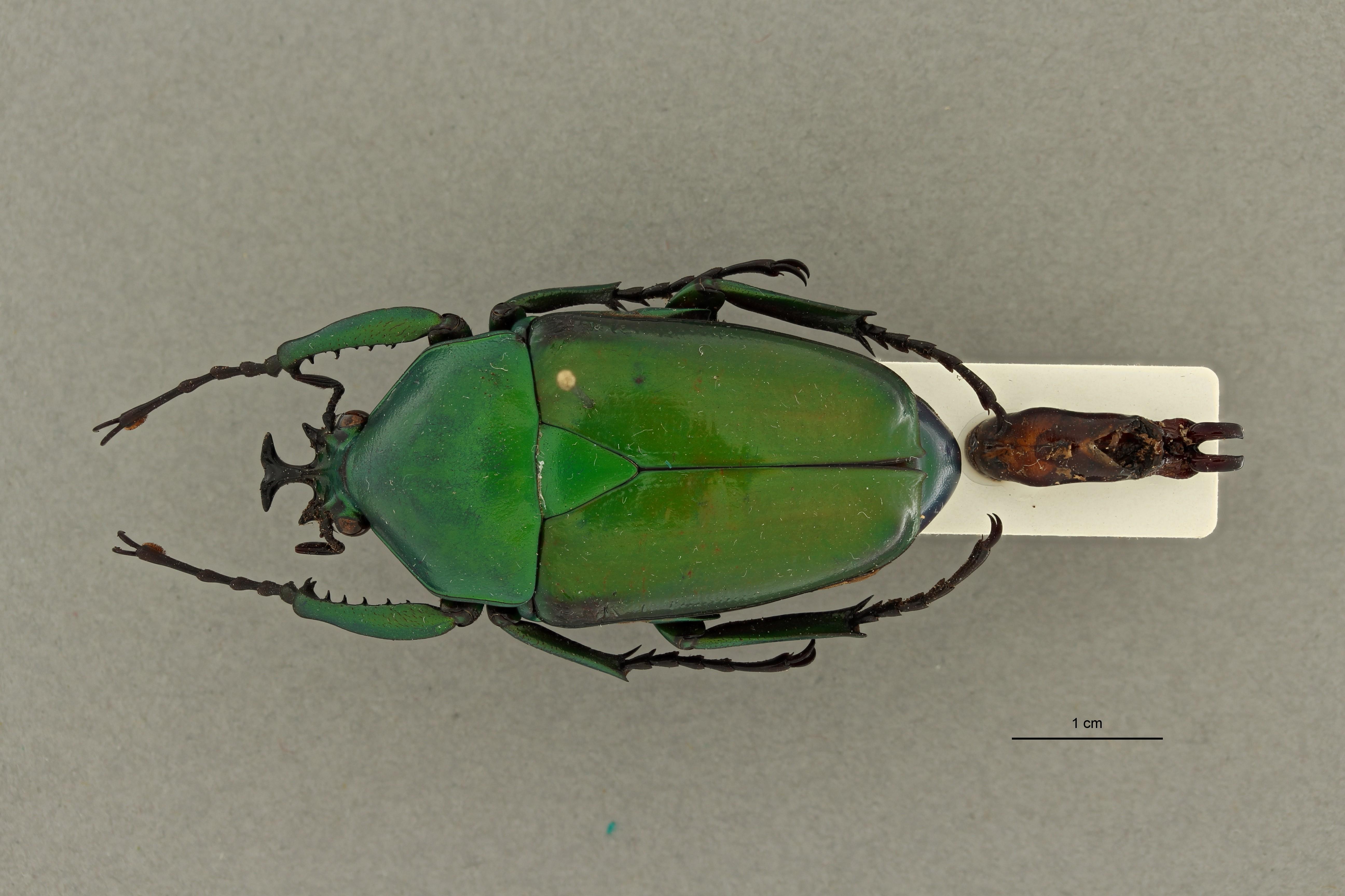 Dicronorhina kouensis pt 1 D ZS PMax Scaled.jpeg