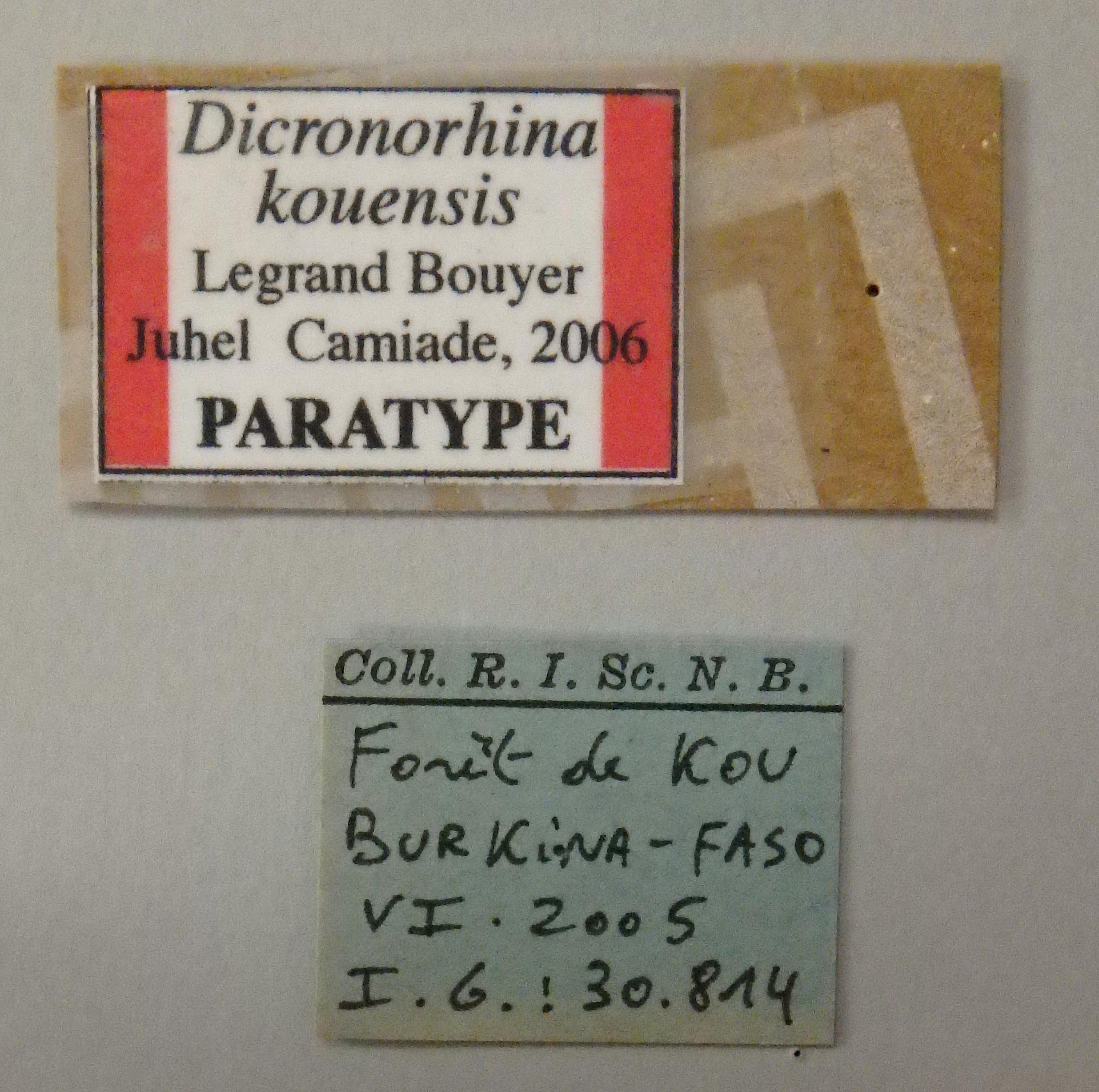 Dicronorhina kouensis pt Lb.JPG