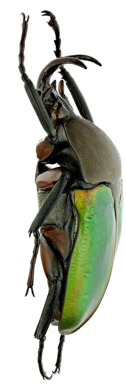 Eudicella cupreosuturalis17419zs36.jpg