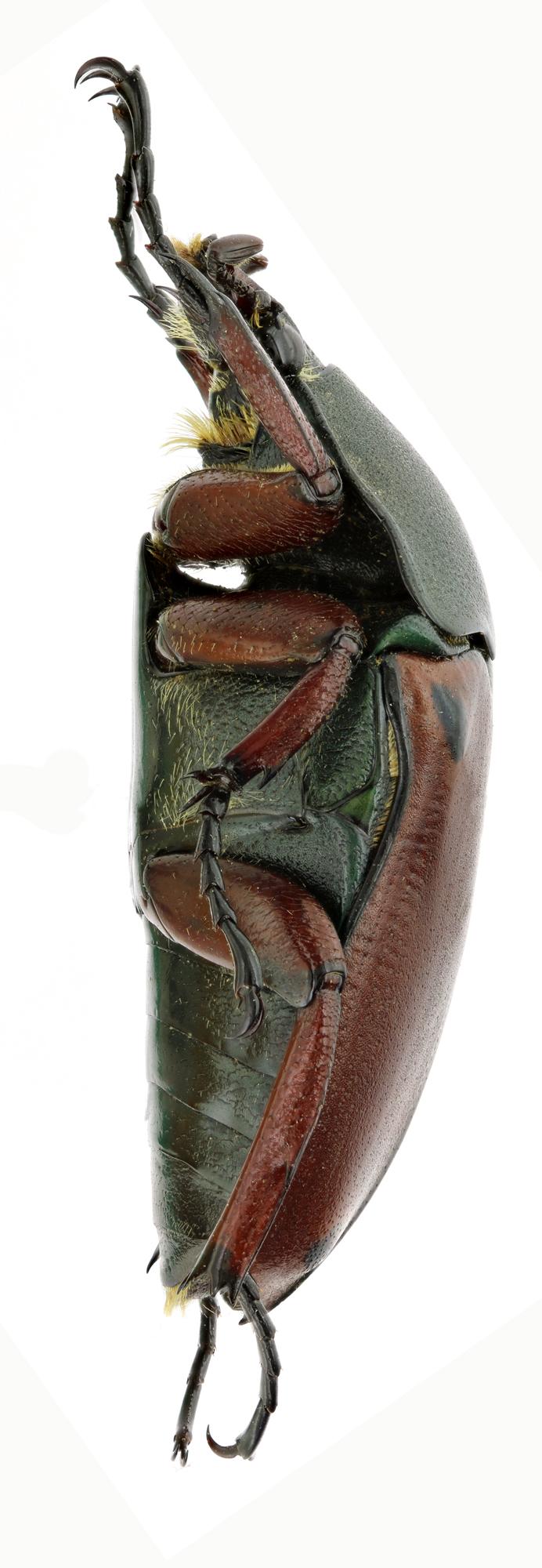 Eudicella smithi lequeuxi 17912zs29.jpg