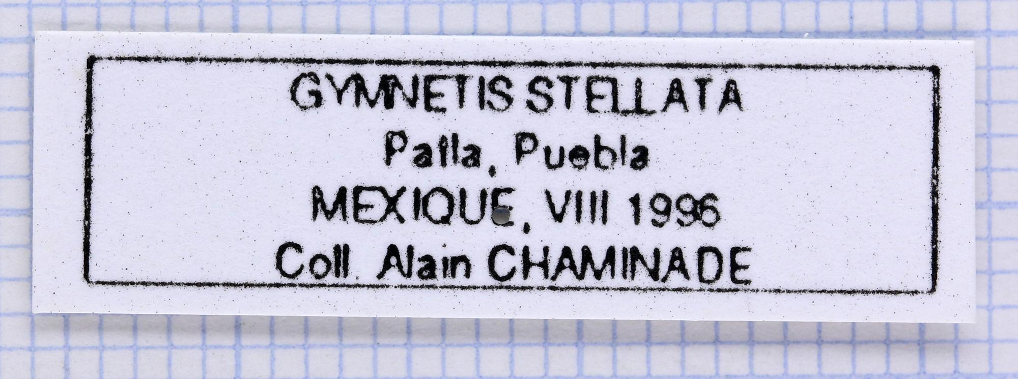 Gymnetosoma stellata 25086.jpg