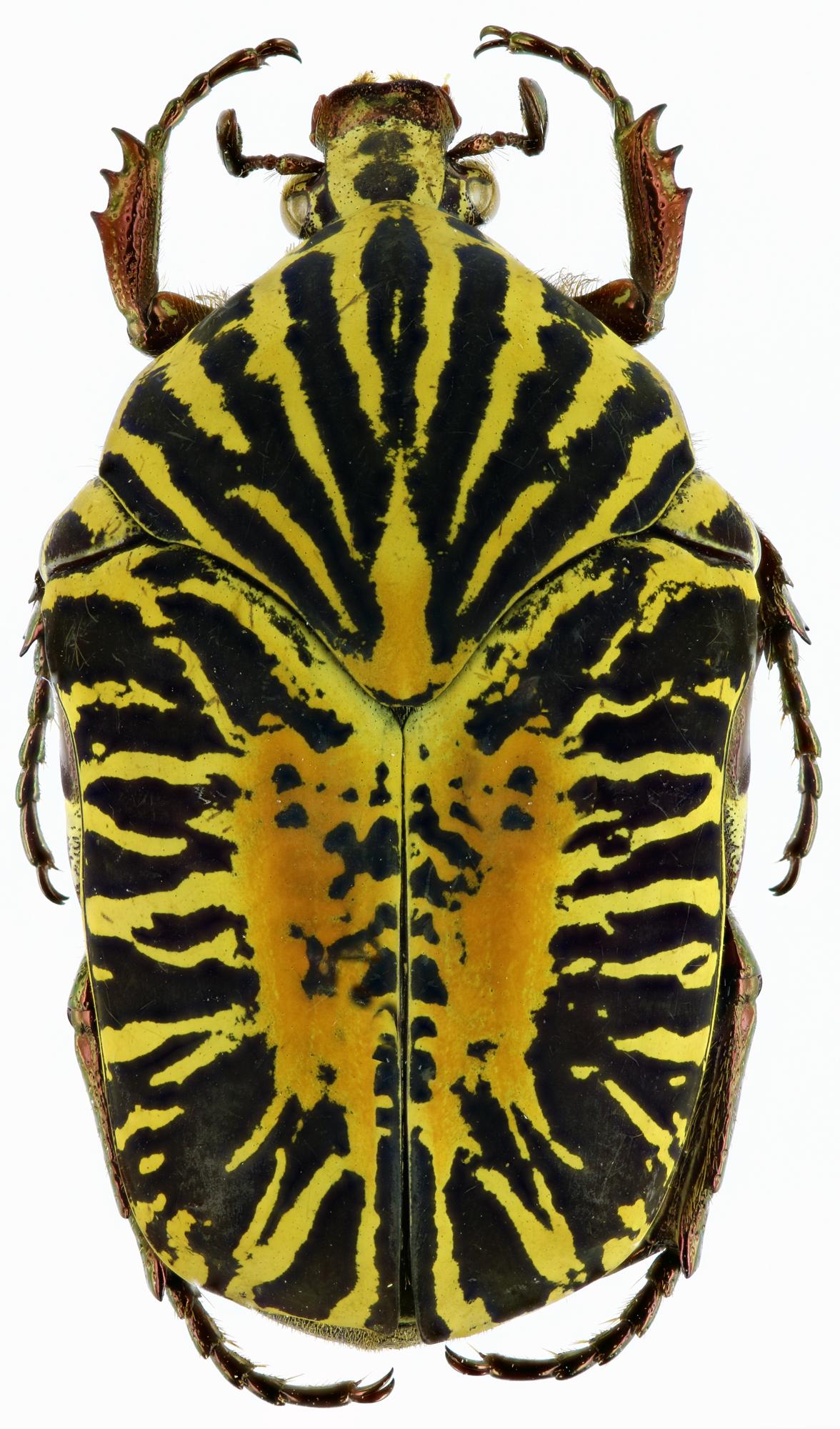 Gymnetosoma stellata 25113zs35.jpg
