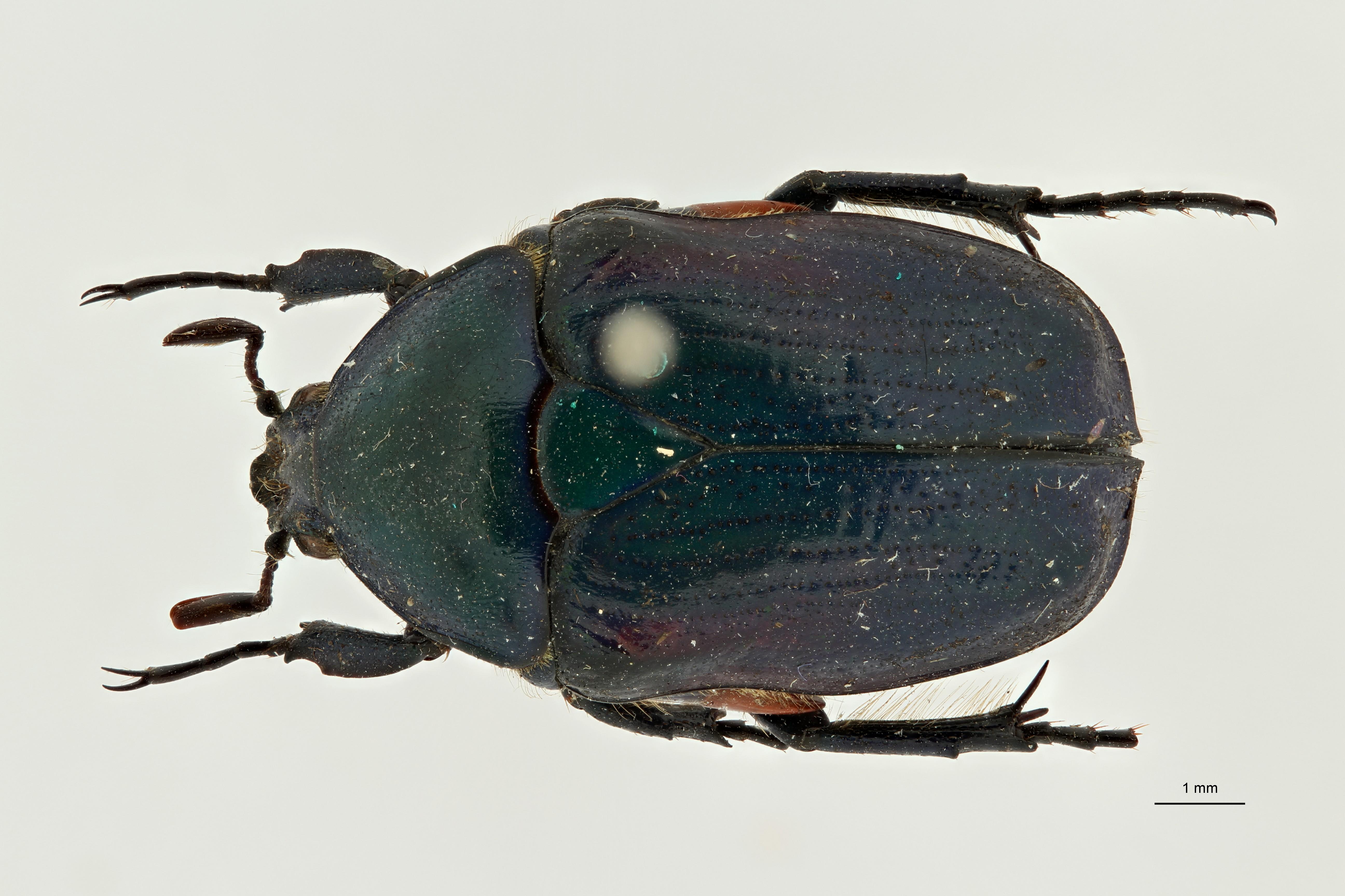 Heterorhina obesa subspecies meridionalis pt1 D ZS PMax Scaled.jpeg