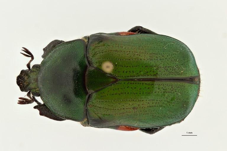 Heterorhina obesa subspecies meridionalis at D ZS PMax Scaled.jpeg