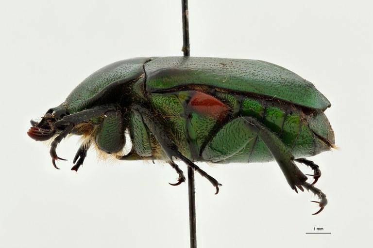 Heterorhina obesa subspecies meridionalis at L ZS PMax Scaled.jpeg