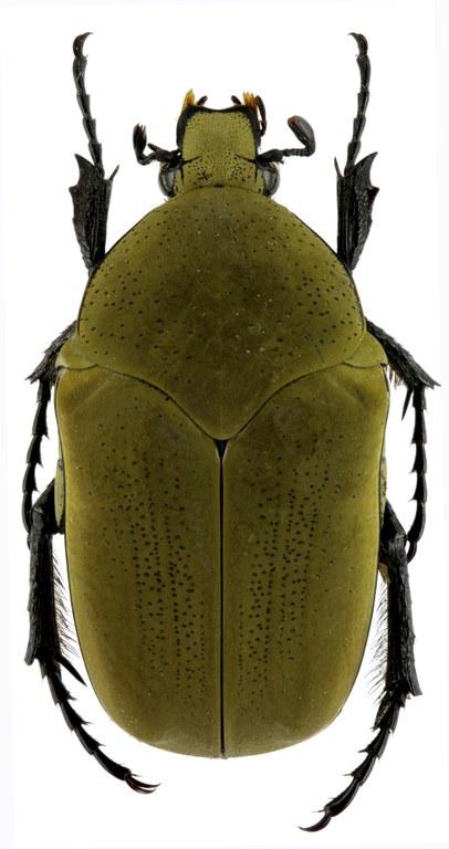 Hologymnetis cinerea 25697zs07.jpg