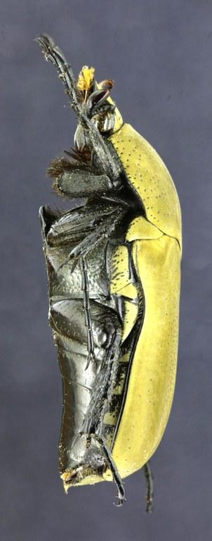 Hologymnetis cinerea 25714zs19.jpg