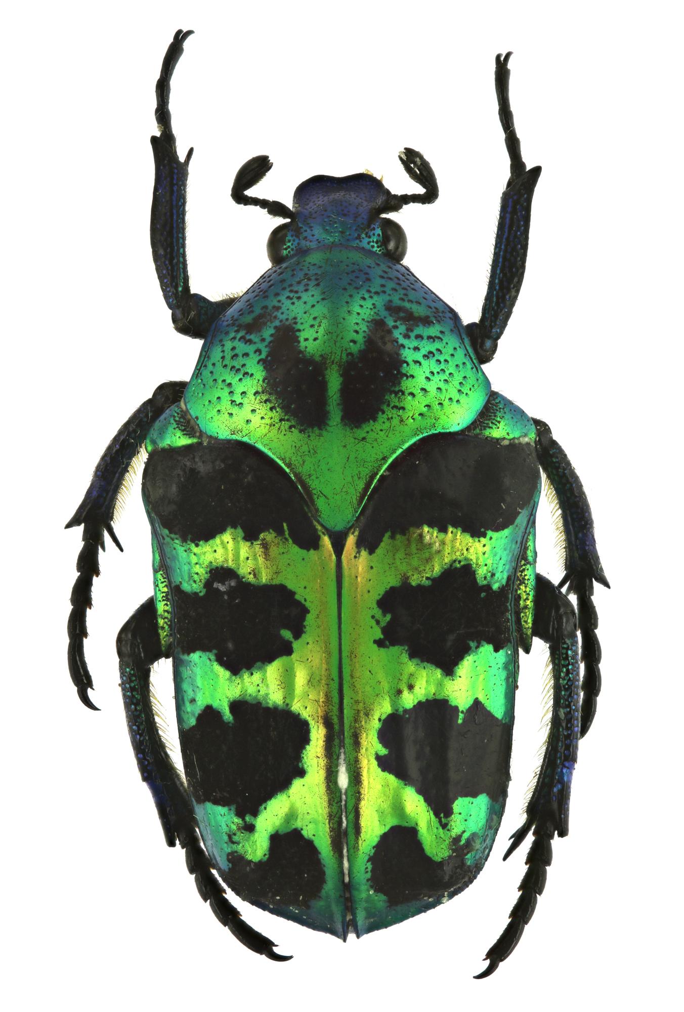 Howdenypa gloriosa 24517zs33.jpg