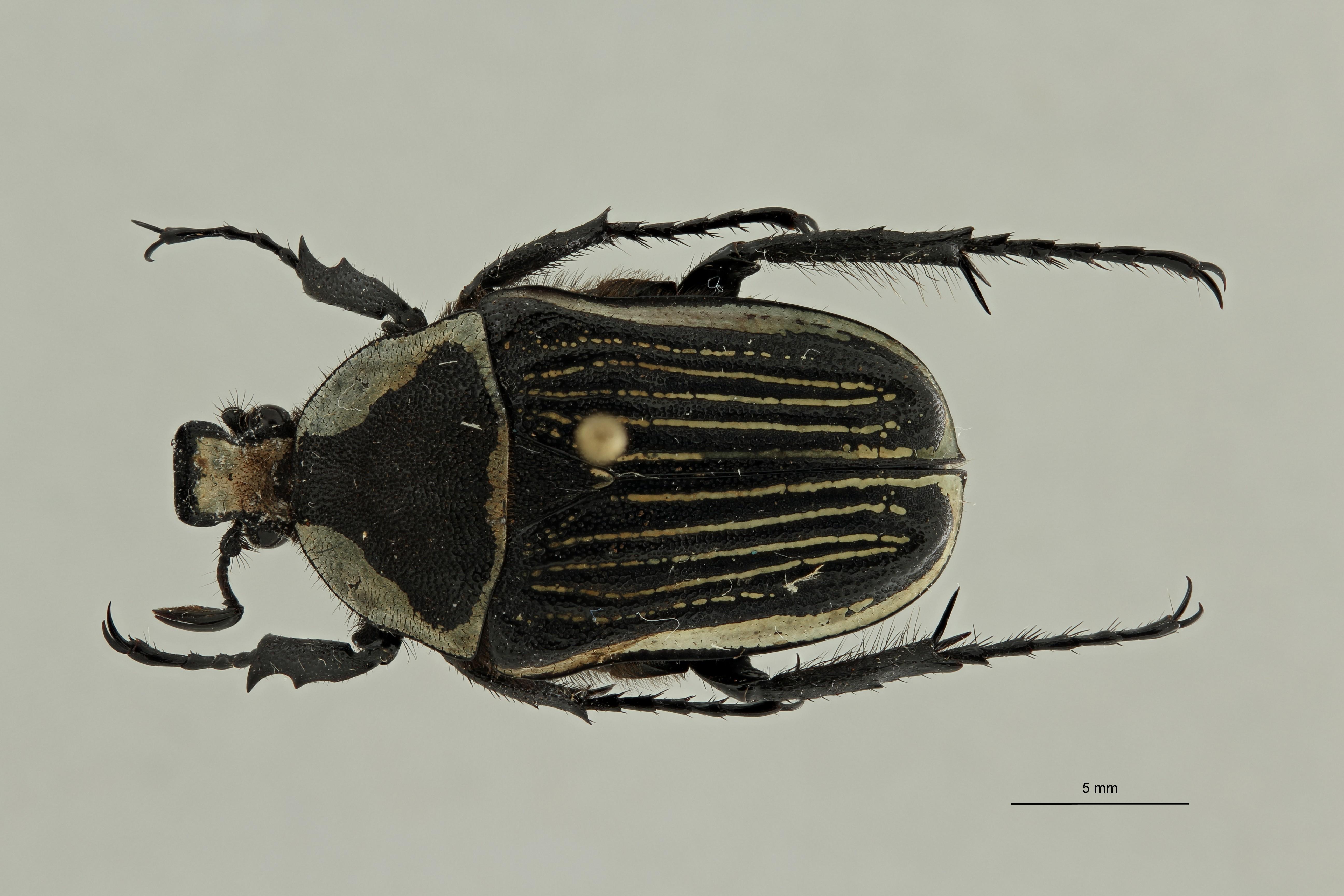 Lansbergia (Trapezorrhina) sordida albolineata pt 1 D ZS PMax Scaled.jpeg