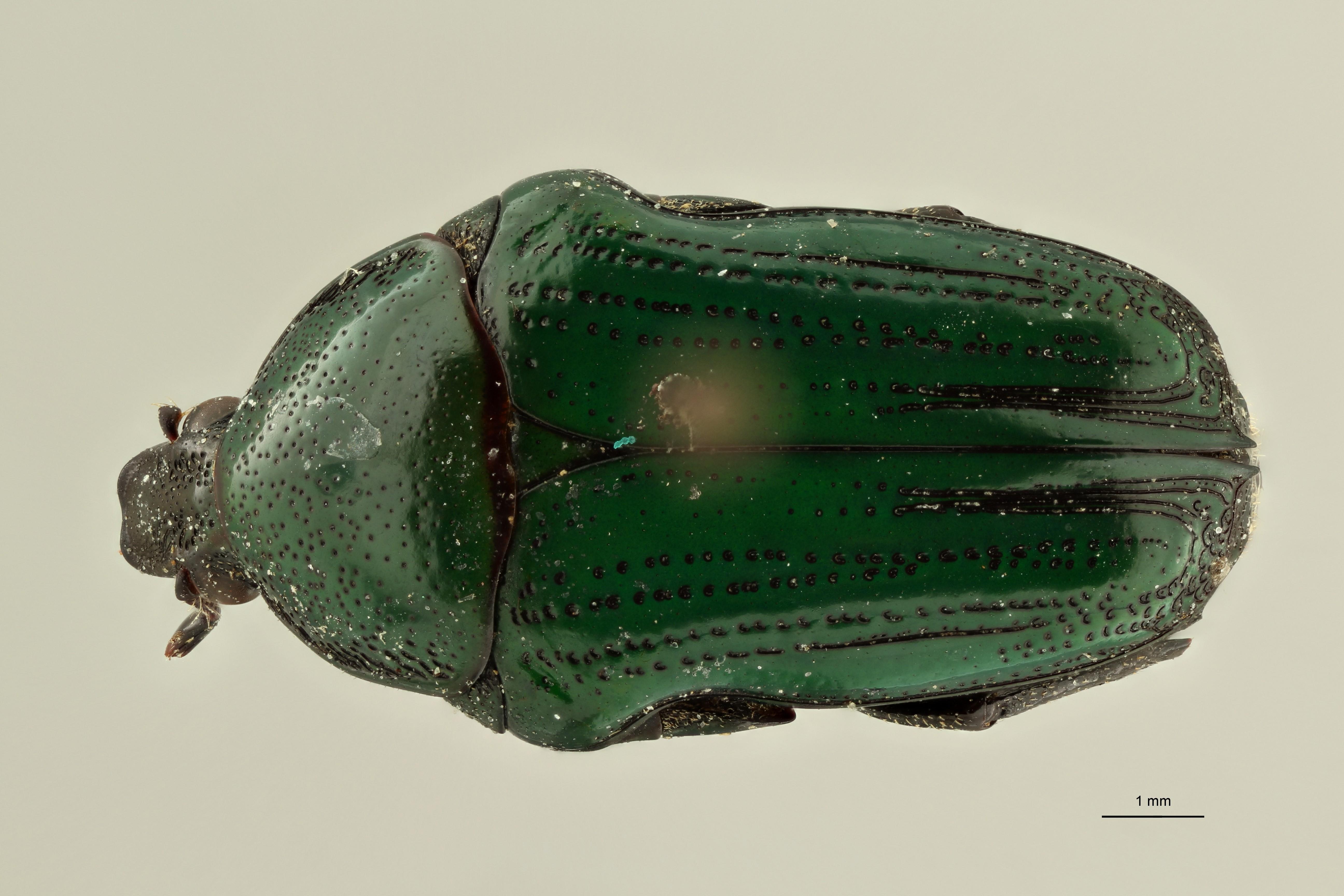 Leucocelis feana pt2 D ZS PMax Scaled.jpeg