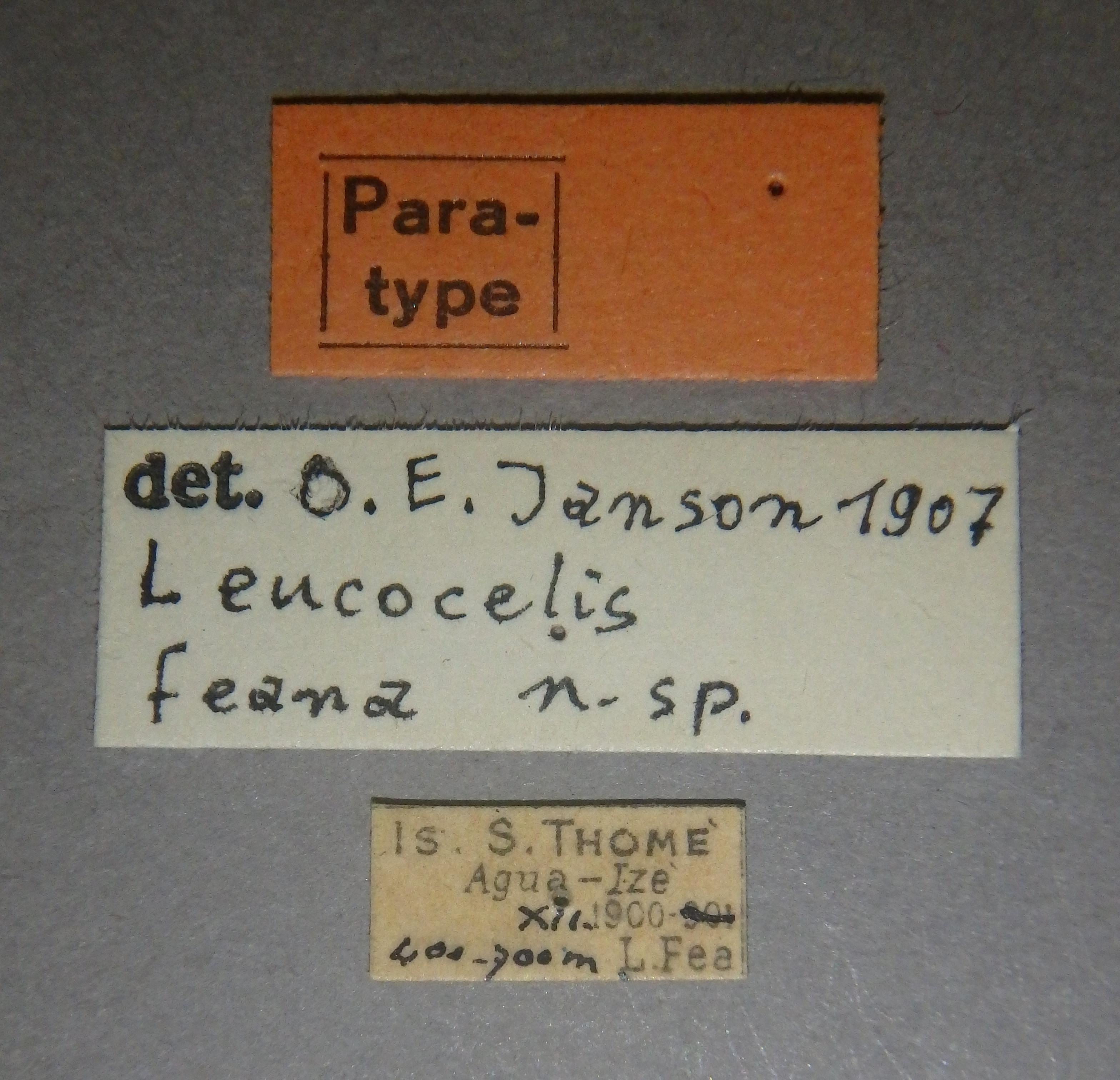 Leucocelis feana pt2 Lb.JPG