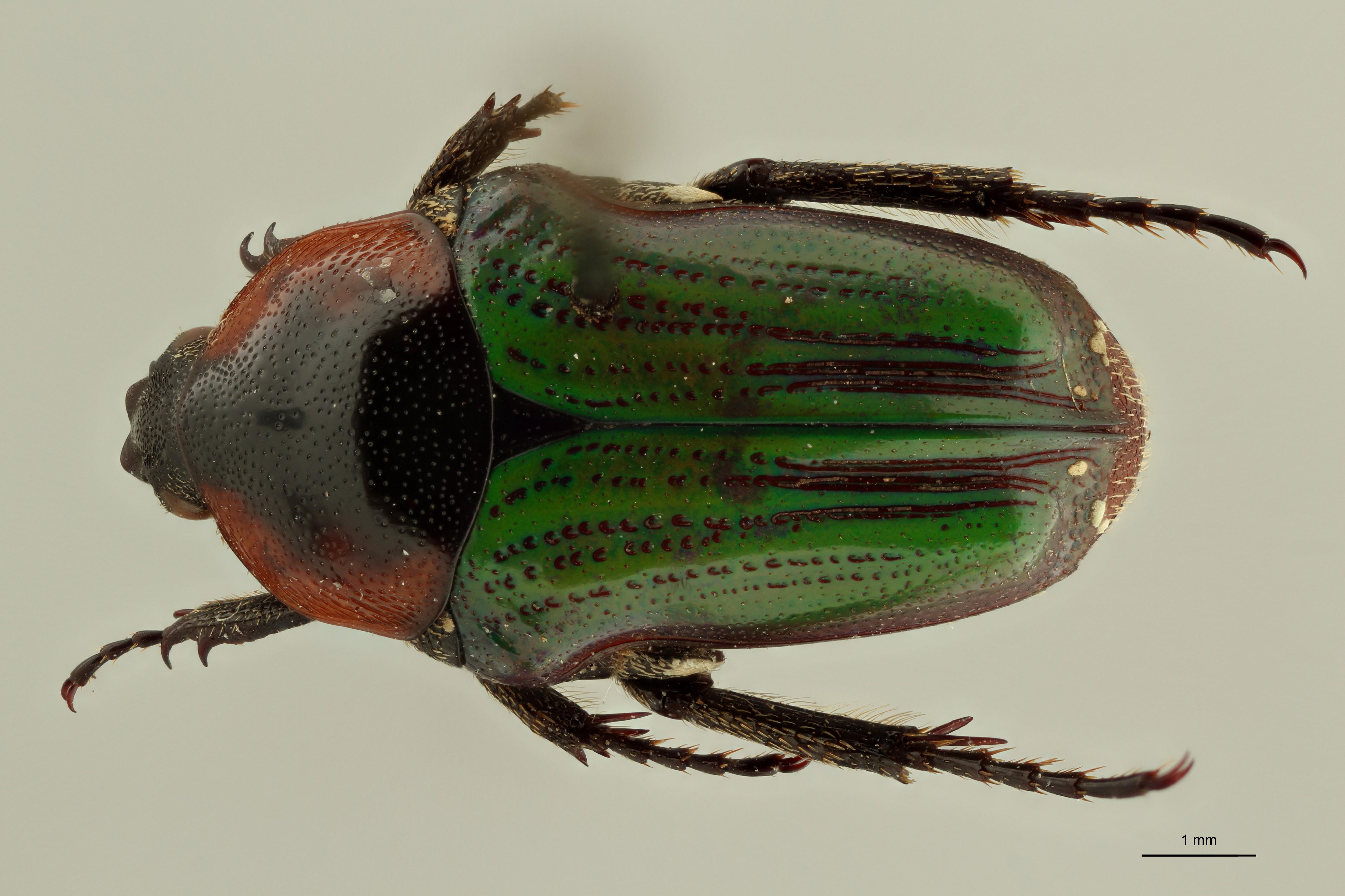 Leucocelis nitidula vrydaghi pt2 D ZS PMax Scaled.jpeg