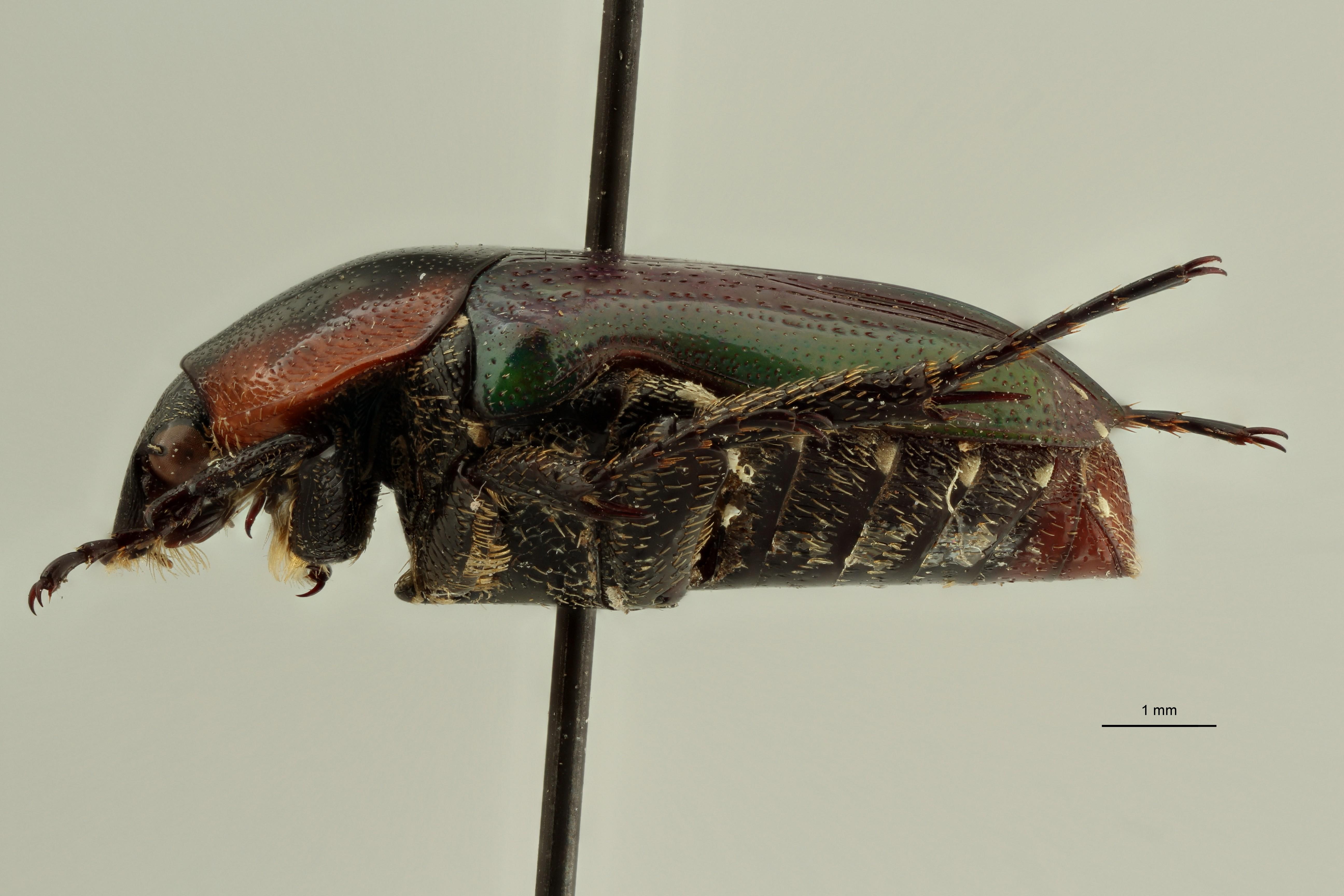 Leucocelis nitidula vrydaghi pt2 L ZS PMax Scaled.jpeg