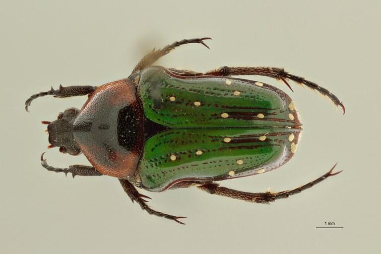 Leucocelis nitidula vrydaghi ht D ZS PMax Scaled.jpeg