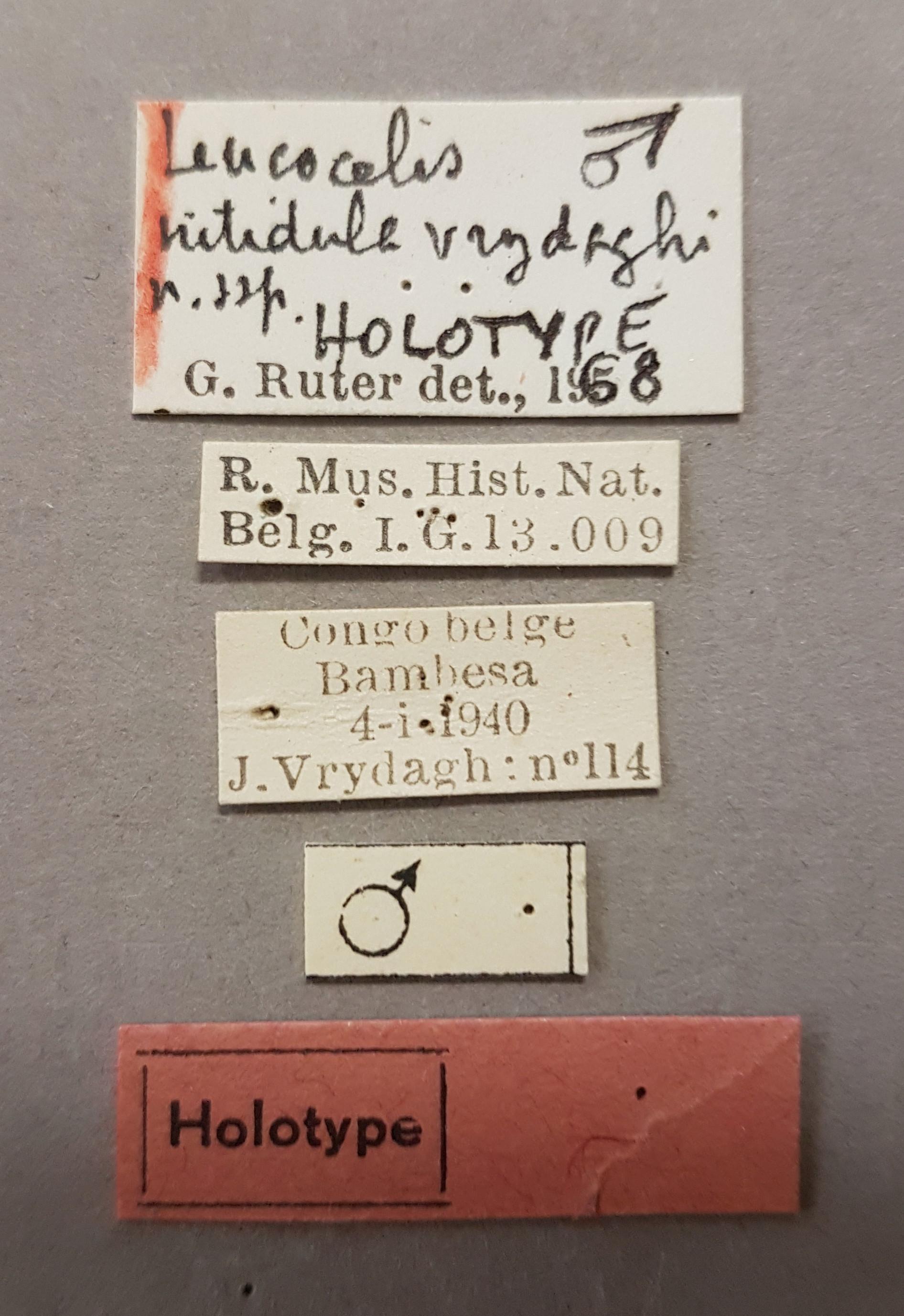 Leucocelis nitidula vrydaghi ht Lb.jpg