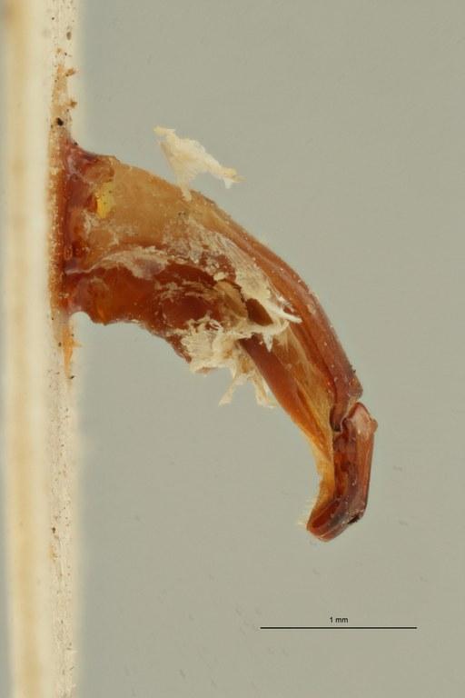 Leucocelis nitidula vrydaghi ht LGe ZS PMax Scaled.jpeg