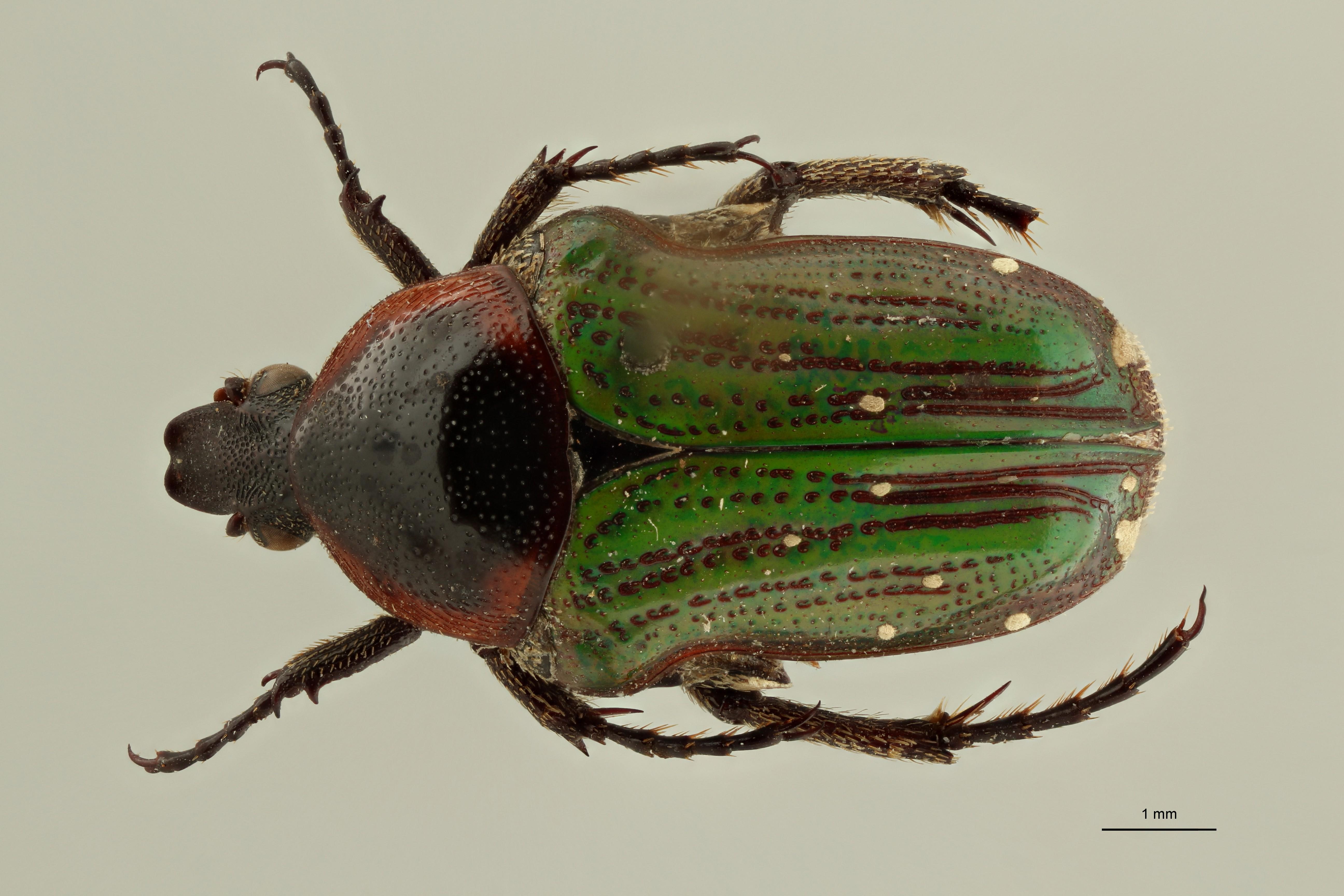 Leucocelis nitidula vrydaghi pt1 D ZS PMax Scaled.jpeg
