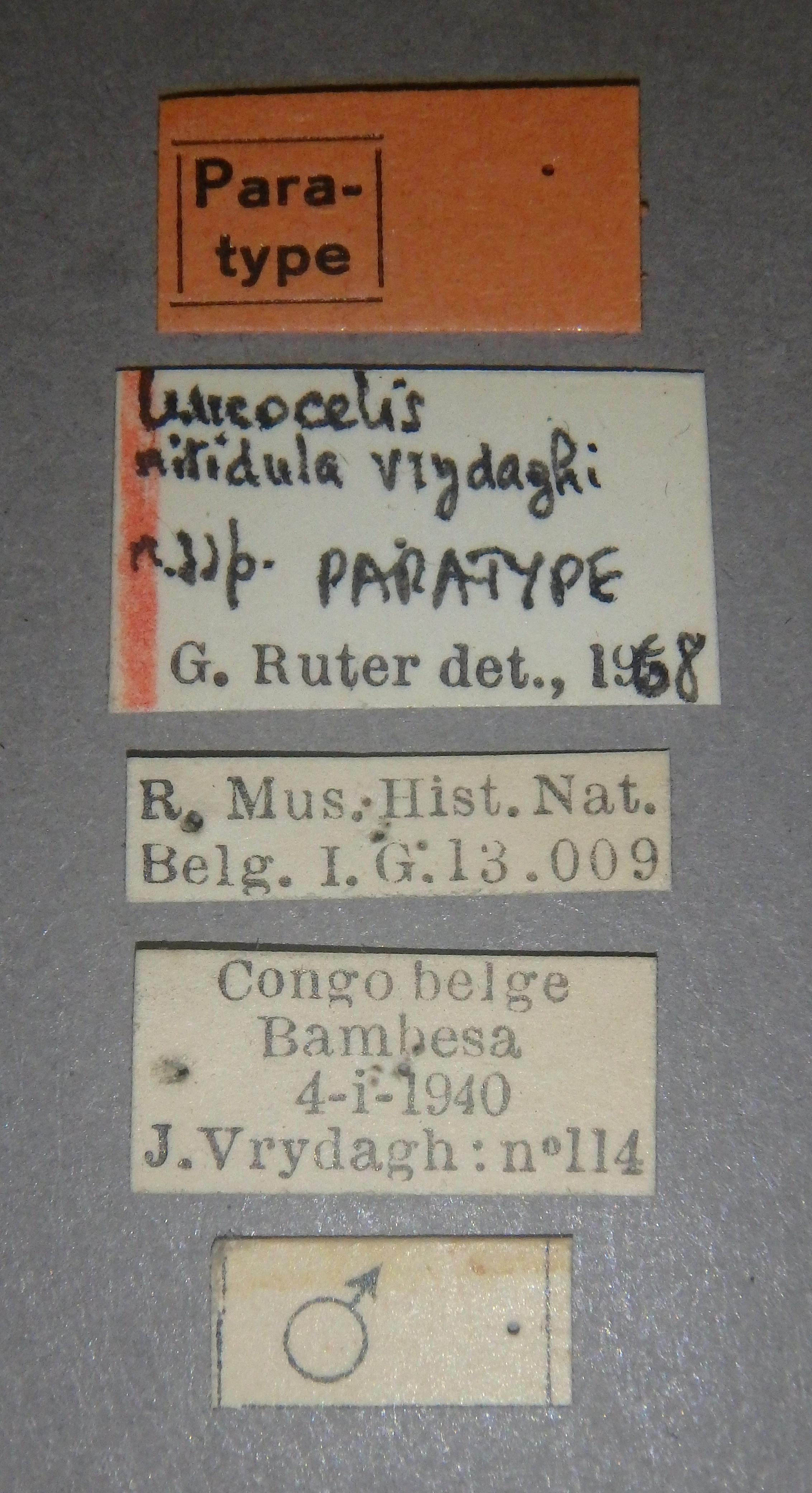 Leucocelis nitidula vrydaghi pt1 Lb.JPG