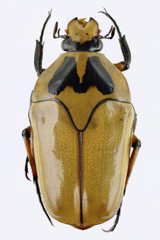 Lomaptera (Melanoptera) annae 11049zs61.jpg
