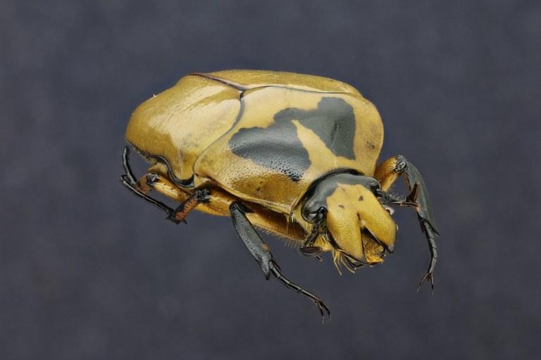 Lomaptera (Melanoptera) annae 11089zs06.jpg