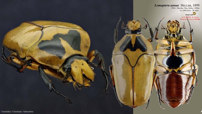 Lomaptera (Melanoptera) annae.jpg