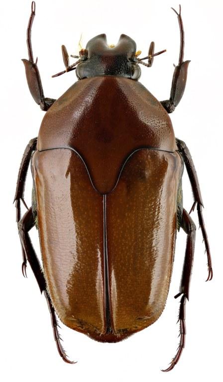 Lomaptera (Melanoptera) bicolorata 13168zs82.jpg