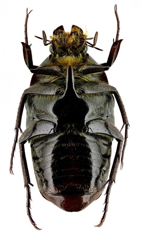 Lomaptera (Melanoptera) bicolorata 13183zs94.jpg