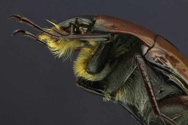 Lomaptera (Melanoptera) bicolorata 13195zs18.jpg