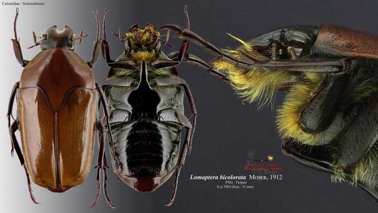 Lomaptera (Melanoptera) bicolorata.jpg