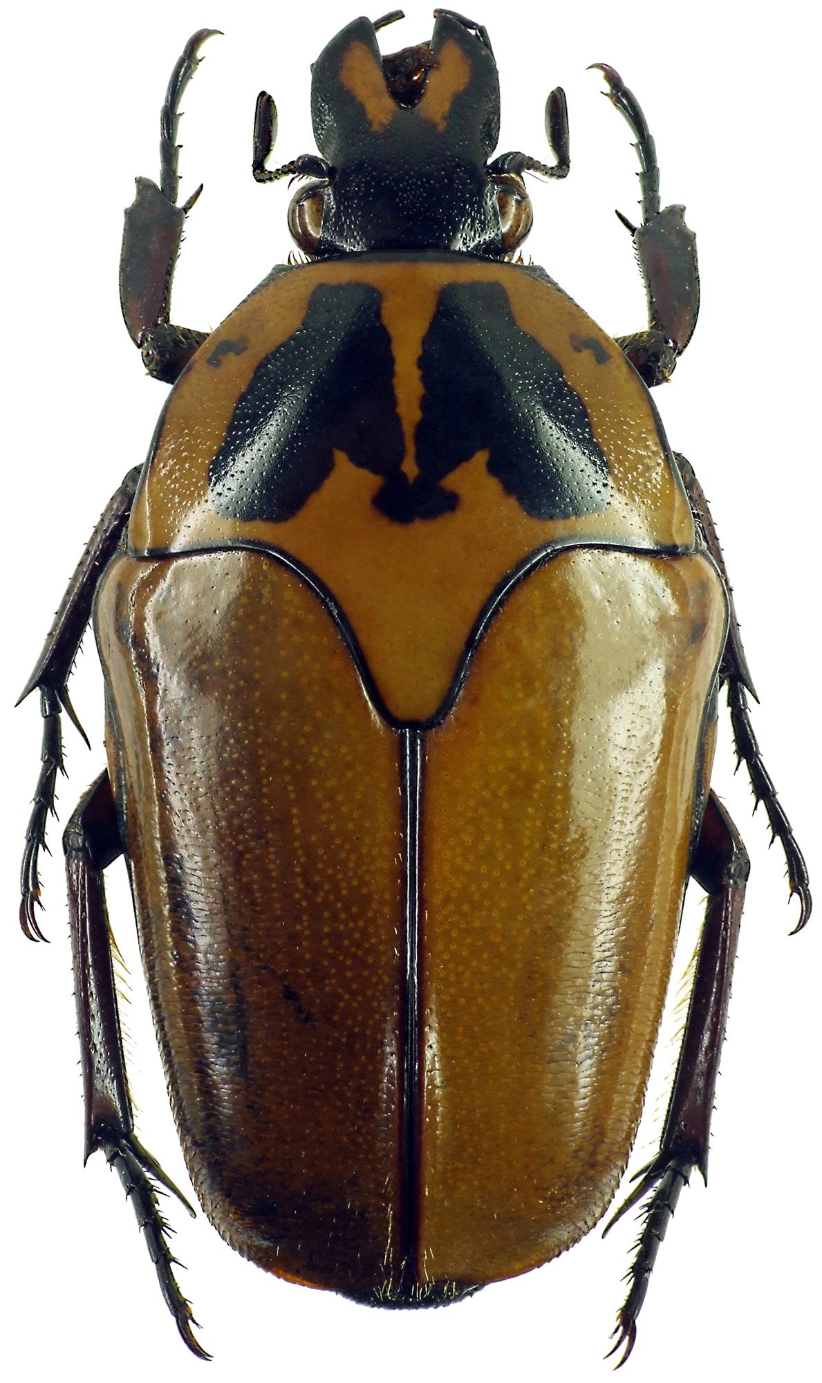Lomaptera (Melanoptera) satanas 10927cz32.jpg