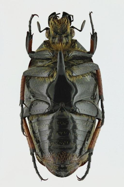 Lomaptera (Melanoptera) satanas 11016zp23.jpg