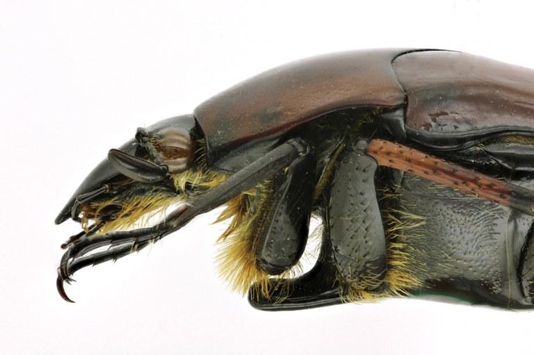 Lomaptera (Melanoptera) satanas 11024zs33.jpg