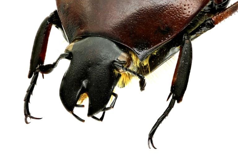Lomaptera (Melanoptera) satanas 11034zs48.jpg