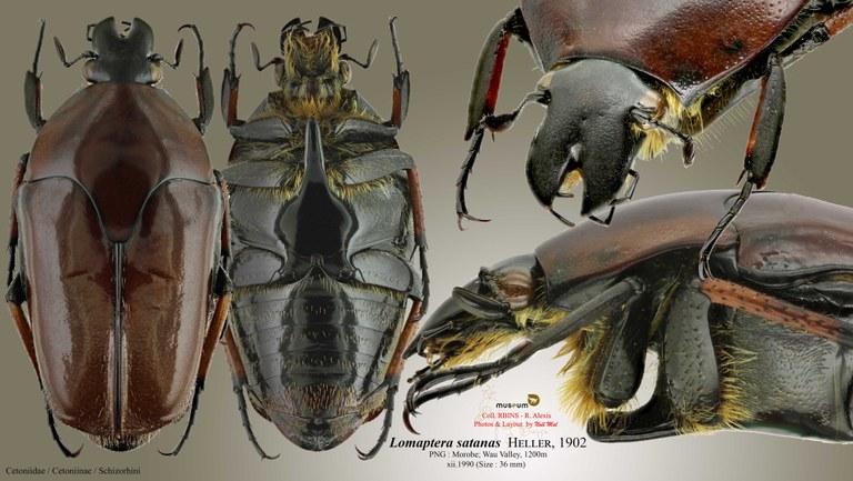 Lomaptera (Melanoptera) satanas.jpg