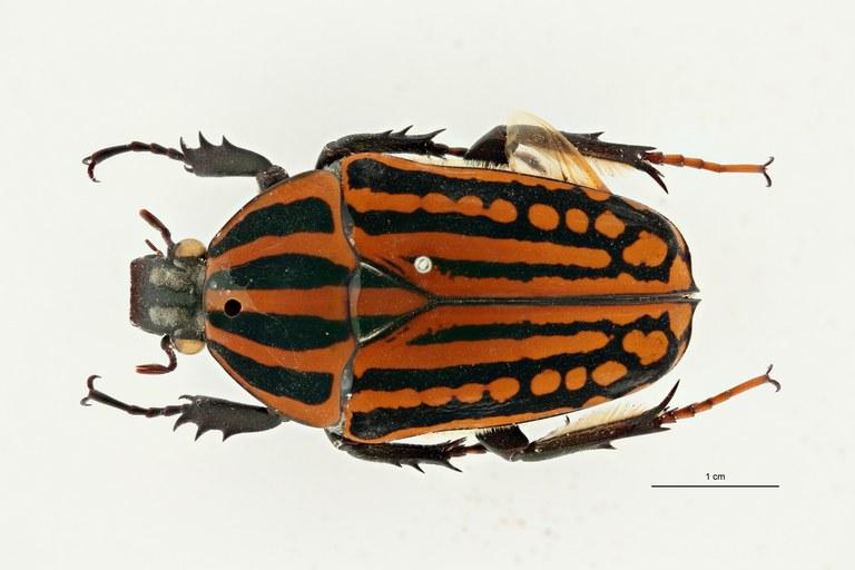 Mecynorhina (Chelorhinella) bouyeri pt D ZS PMax Scaled.jpeg